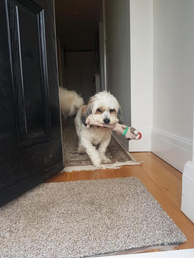 This is Buster, a cross between bichon frise and shih tzu from Prestwood.