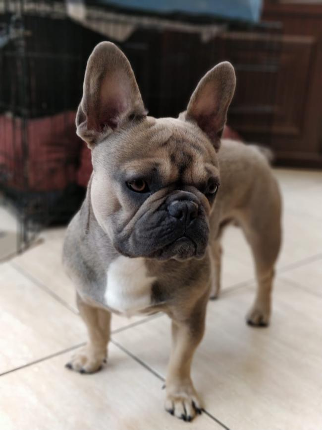 This is Reggie, our gorgeous French Bulldog.  He has fabulous character and a very loving little dog.