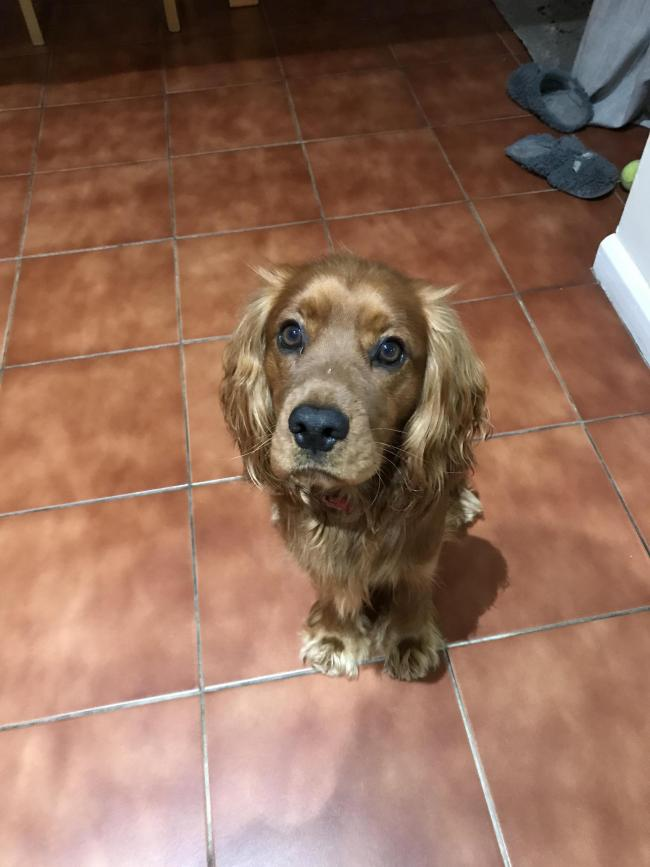 This is Milo, he is a working cocker spaniel. He loves his walks, food and his family. He is an unusual red colour and always gets compliments on his coat!
