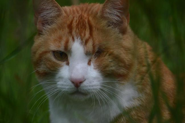 This is Toffee my one eyed ginger rescue. He had a terrible eye infection at around age 2.  He was nearly put down as he was so ill but he won me over completely and we did everything we could to try save the eye.  Ultimately he had to have the eye removed and he was almost instantly better. He is very protective of us (thinks he is a guard dog and runs towards any loud noises or visitors).  I think he is the most handsome / best looking cat ever (he winks at us all the time 😉😂) and his one remaining eye is so big and expressive. He rewards us every day with so much love (he is about 4 now) and is probably the cutest cat I have ever known. He seems to sense if any of the kids are having a hard time at school and snuggles up in bed with them every night until they feel better.  He loves kids and follows mine around all the time. If they get close to the road he howls at them until they go back in. In my heart he is already the winner. He lives in Bryant's Bottom.