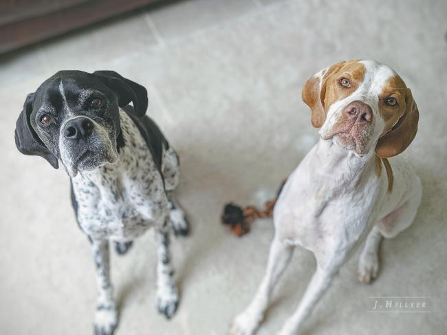 Brian (Black & white) & Dougie (Lemon & white) English Pointers.  Our loving pets in Marlow Bottom
