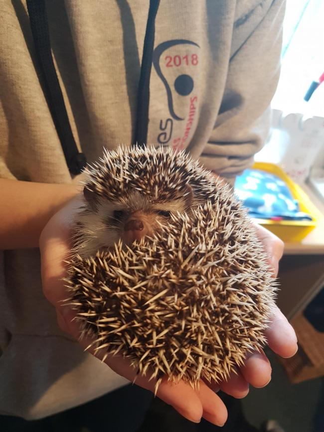 Wesley the African Pygmy Hedgehog From Micklefield