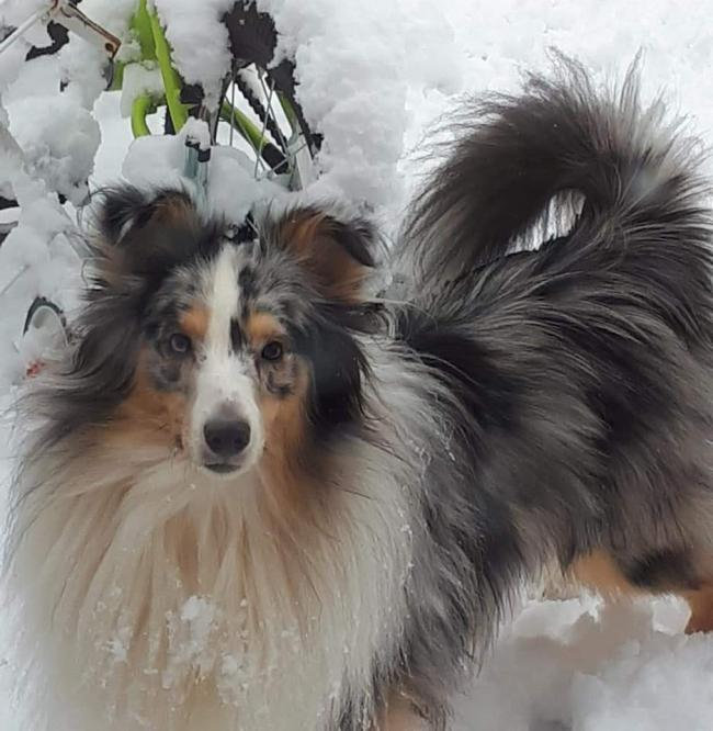 My beautiful shetland sheepdog Merlin who I bred but he very nearly died. He is my world