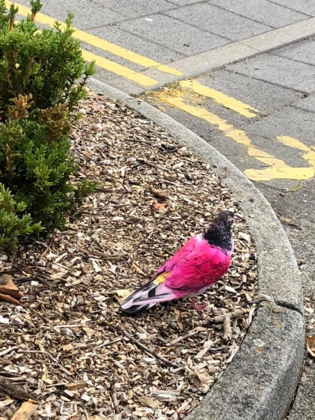 The pink pigeon was spotted in Marlow on July 9