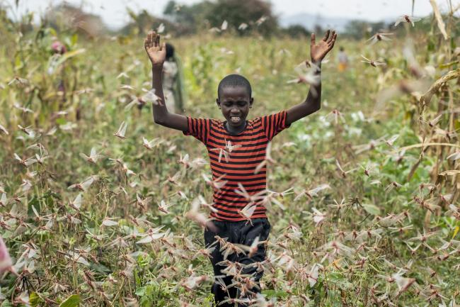 A farmer's son raises his arms as he is surrounded by desert locusts while trying to chase them away from his crops in Katitika village, Kitui county, Keny