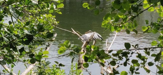 The heron that was in Bisham (photo by Steven Bines)