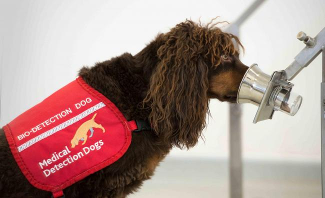 Medical detection dogs could help sniff out coronavirus