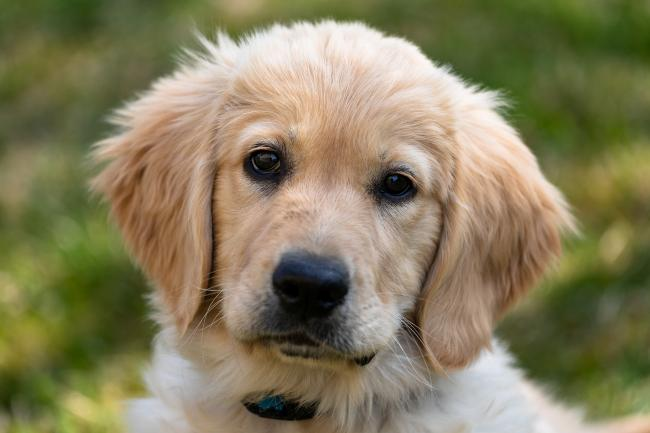 Bella is a Little Golden Labrador-Retriever puppy (stock photo)