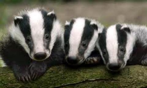 Badger cull postponement welcomed by Bucks MEP