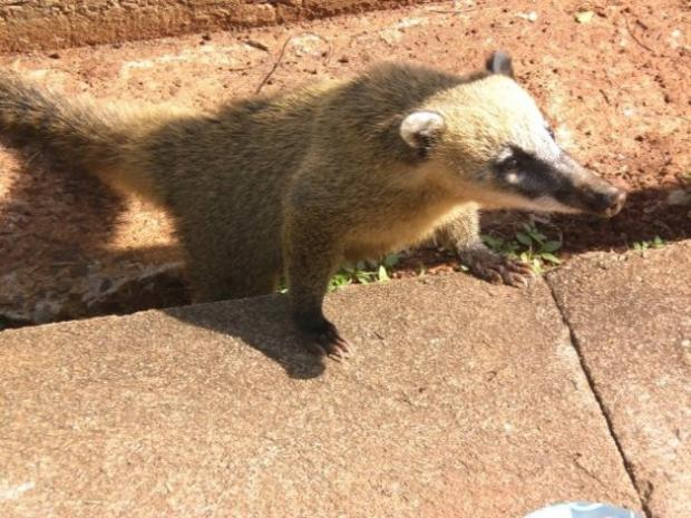 A coati at Igauzu Falls, Brazil - picture courtesy of Daisy Anderson