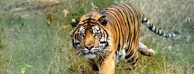 Marlow tiger charity offering trip of a lifetime