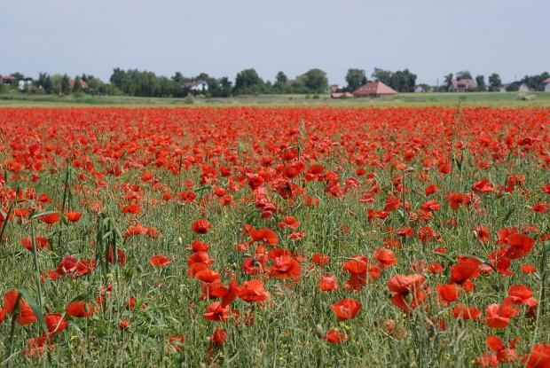 Council to plant poppies for WWI centenary