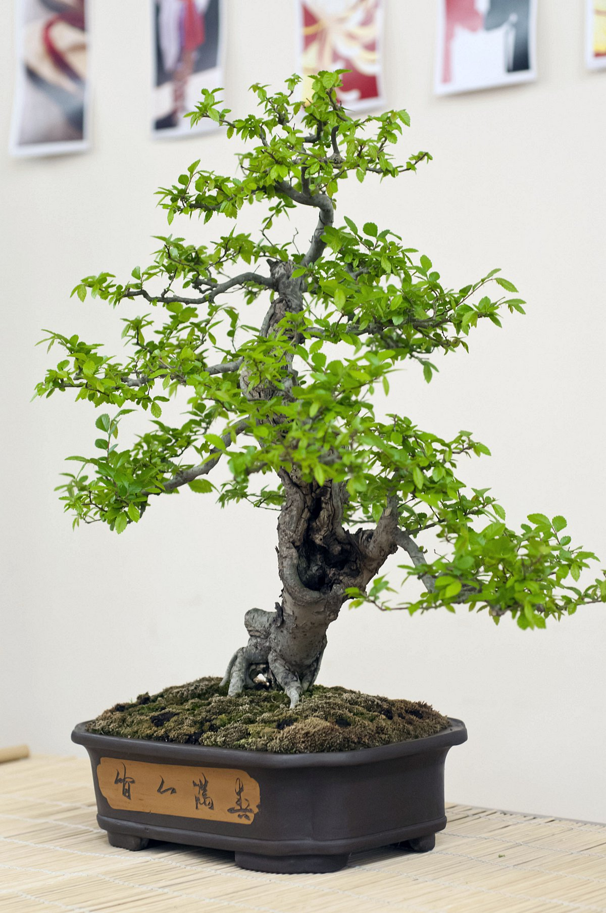 Society set for Bonsai exhibition