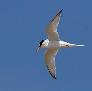 Little terns have been badly affe