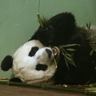 Experts at Edinburgh Zoo said Tian Tian should have gone into labour over