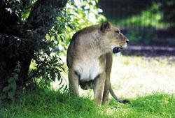 A large cat, believed initially to be a lion, was reportedly seen in fields in Essex